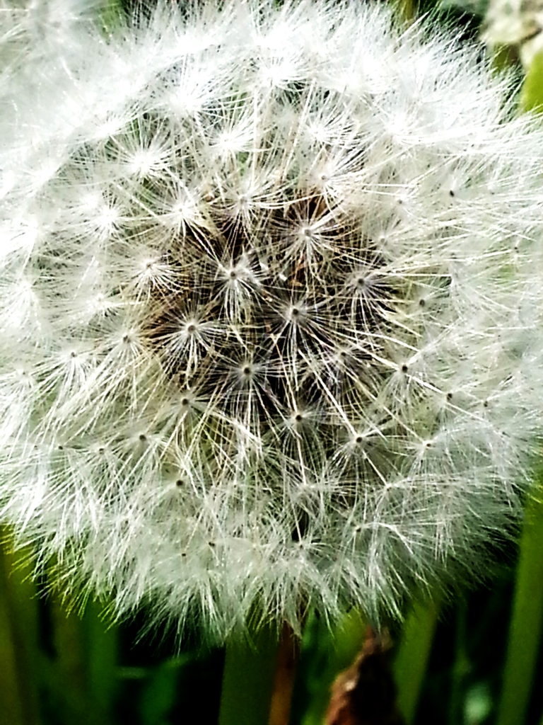 Close up  of a dandelion gone to seed.  I love the shapes and the contrast between the white and the darkness of the green.